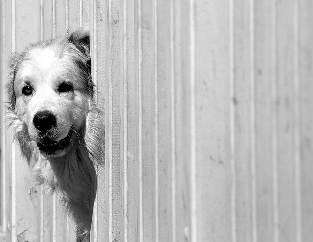 chien à corps de barrière