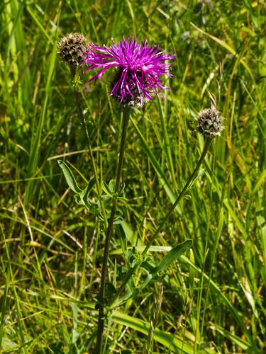 Greater knapweed flowering
