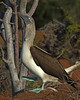 Blue-footed Booby (Sula nebouxii) by Lip Kee