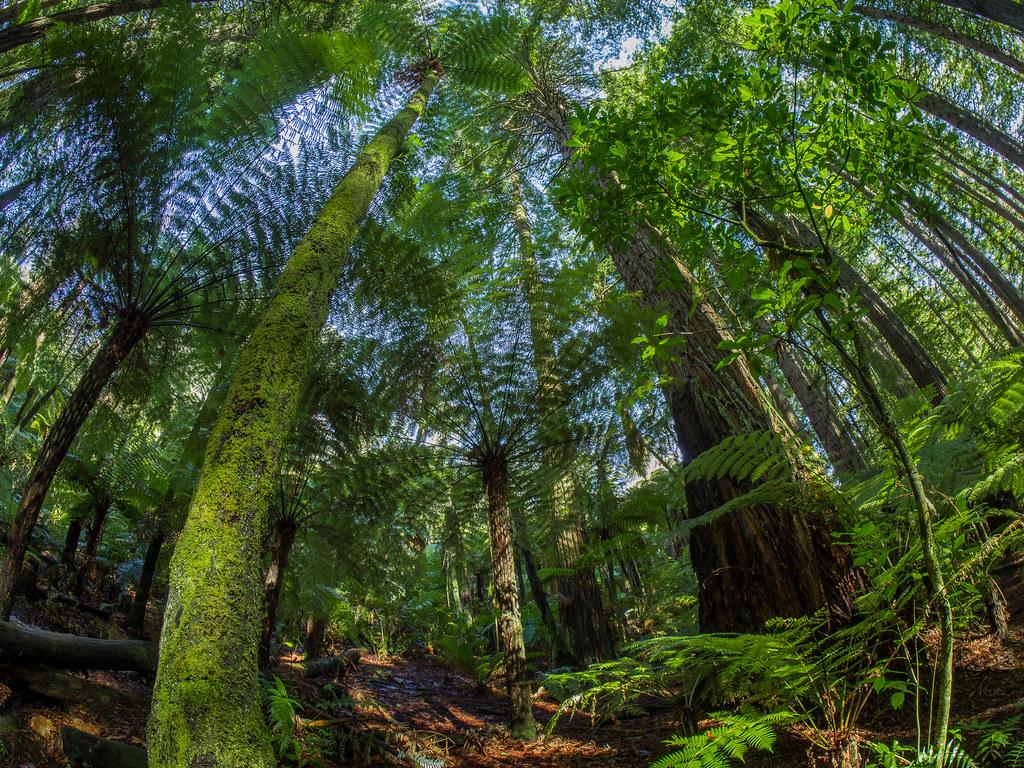 Redwoods - NZ style