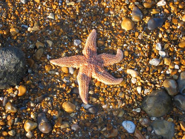 Starfish at Pevensey Bay