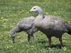 Cape Barren Goose  [Cereopsis novaehollandiae] by burnieclifford@rocketmail.com