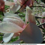 2011-04-12 1296 A flowering Magnolia tree (Magnolia soulangeana)  木蘭屬 二喬木蘭 木蘭