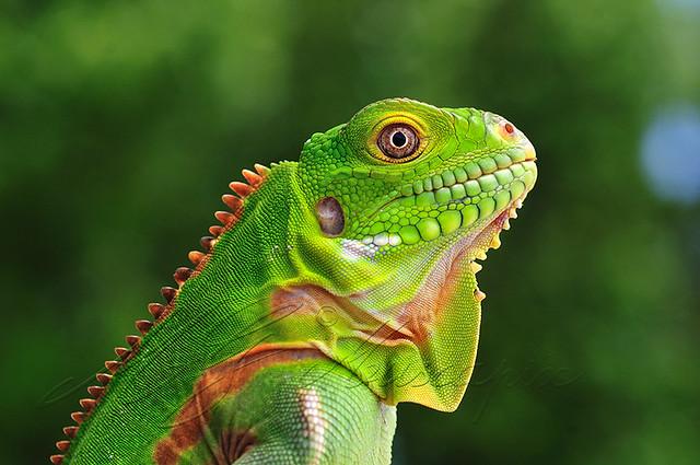 bébé iguana delicatissima