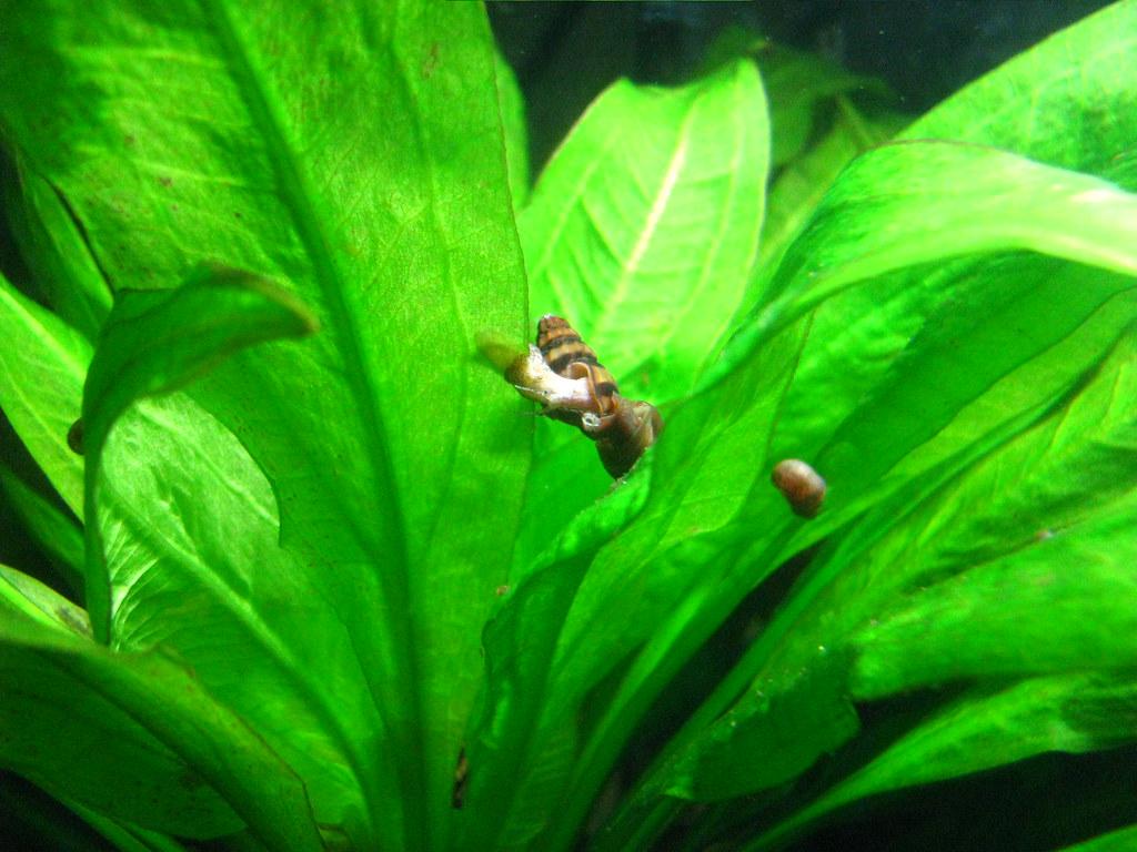 Assassin Snails on plant.