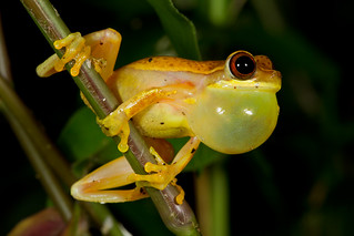 Hourglass Tree Frog | by Seth Patterson