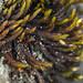 Flickr photo 'Orthotrichum bolanderi' by: John Game.
