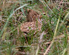Shelley's Francolin by dermoidhome
