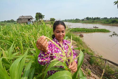 Maize farming in Cambodia