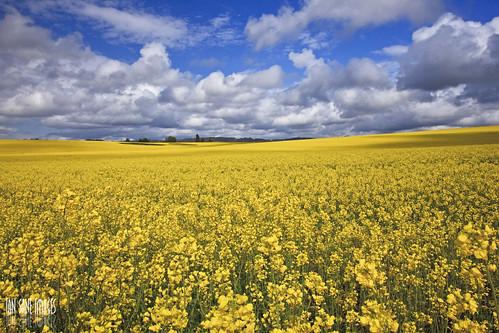 road camera blue sky field yellow clouds oregon canon lens landscape ian photography eos se mark images ii 5d usm agriculture fever canola sane it's f4l sublimity ef1740mm boedigheimer