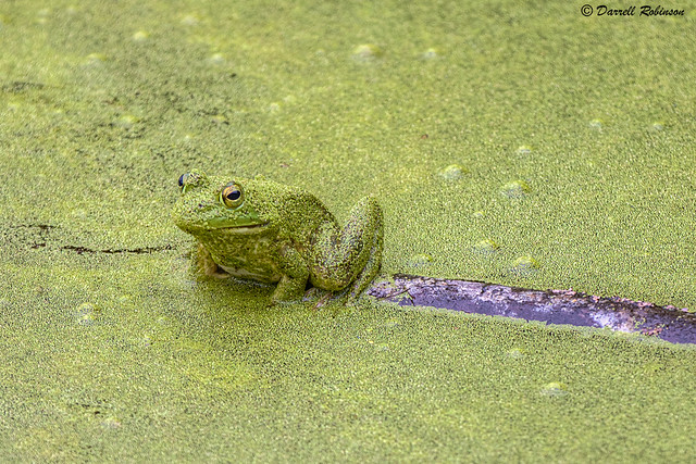 American Bullfrog in Camouflage