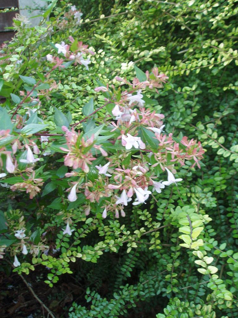 Abelia X Grandiflora Francis Mason Flowers One Of The Lo Flickr
