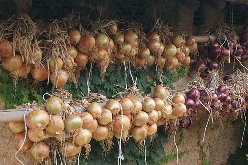 Onions Drying | by fredwlangjr