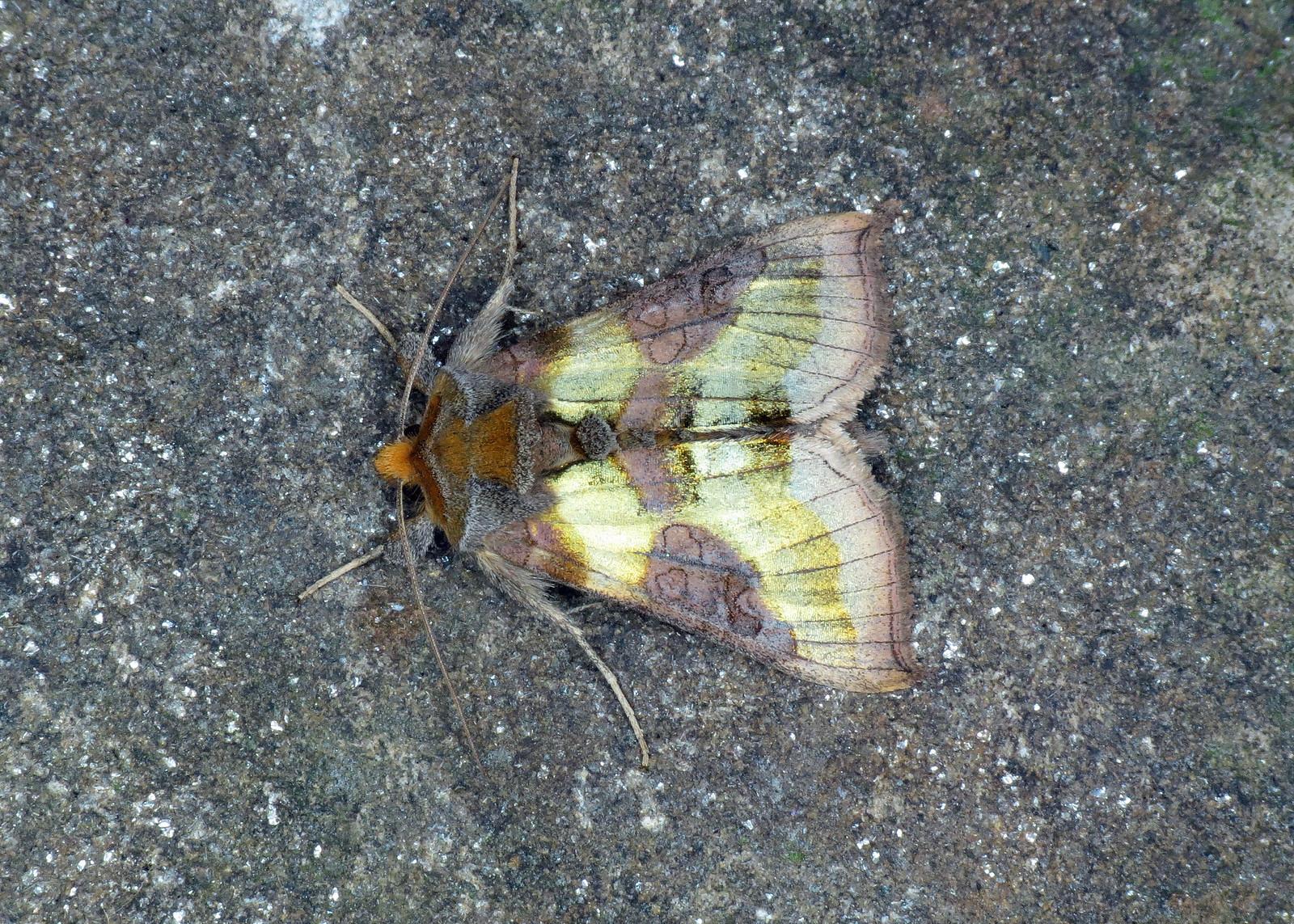 2434 Burnished Brass - Diachrysia chrysitis