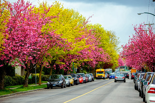 Spring Fresh Verdure VS. Cherry Blossoms, in Vancouver BC Canada | by TOTORORO.RORO