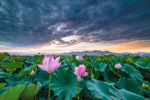 sunrise nikon day lotus cloudy taiwan 台南 f28 荷花 日出 d600 雲彩 白河 14mm 火燒雲 samyang 竹子門