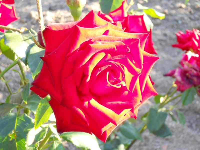 Rosa grandiflora 'Gaujard' 2