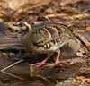 Bar-backed Partridge,     Arborophila  brunneopectus by Graham Ekins
