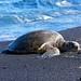 Hawaiian Green Sea Turtle on Black Sand