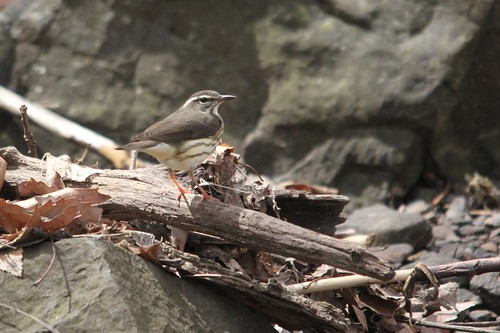 Louisiana Waterthrush | by Birding In New Jersey