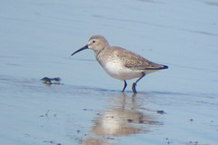 Dunlin, Miami Beach, NJ, March 11, 2012