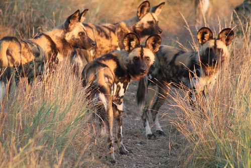 wild dogs hunting | by flowcomm