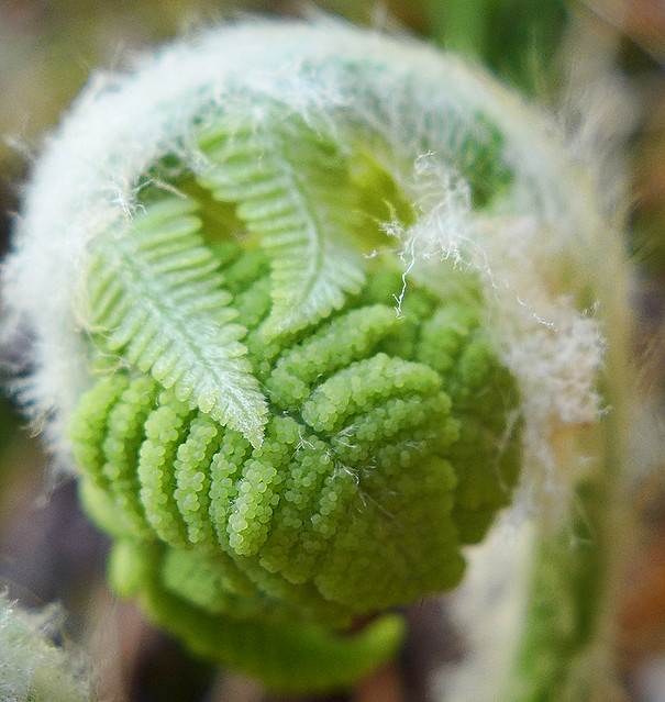 Cinnamon Fern Fertile Frond
