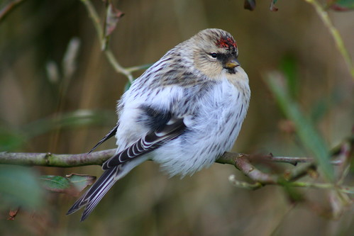 Arctic Redpoll | by Griffin Wildlife