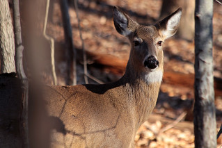 White-tailed deer | by NatureServe