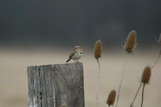 Savannah Sparrow | by 7_ate_9