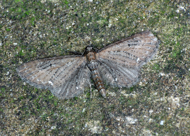 1834 Common Pug - Eupithecia vulgata