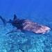 Tiburón Ballena - Photo (c) Aneo, algunos derechos reservados (CC BY-SA)
