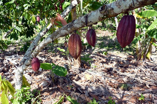 Cacao plantation | by Maxence Peniguet
