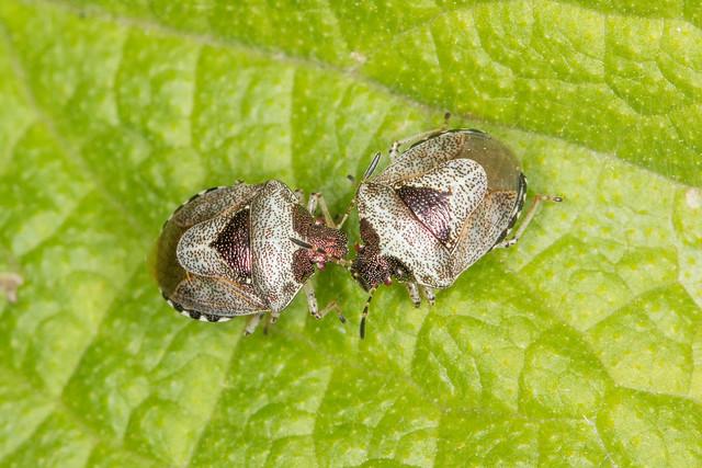 Woundwort shieldbugs