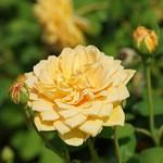 おはようございます! +1057   Good morning my friends! Have a nice weekend.   『 #ゴールデンセレブレーション 』   #Golden Celebration   素敵な日曜日お過ごし下さい♪  ゴールデンイエロー 綺麗ですね! エリザベス女王に捧げられた薔薇  英国 Devid Austin 1992年作出 #花フェスタ記念公園 にて  岐阜は晴れ 最高気温37℃  暑い日が続きますね(^-^) 熱中症には充分ご注意を❗