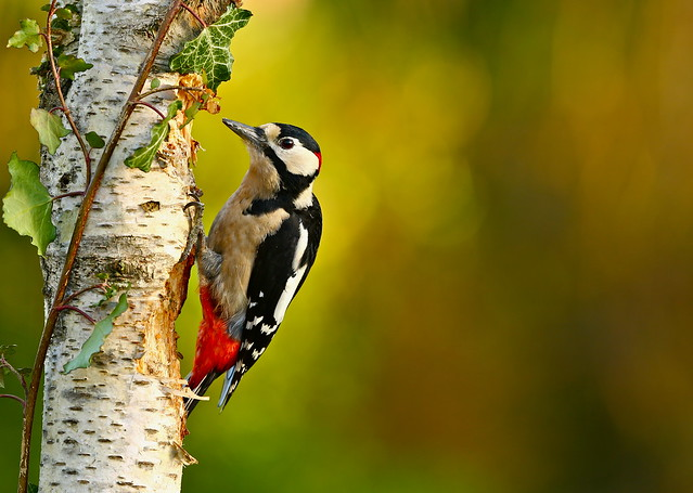 GREAT SPOTTED WOODPECKER ( Explore 01.01.2017 )