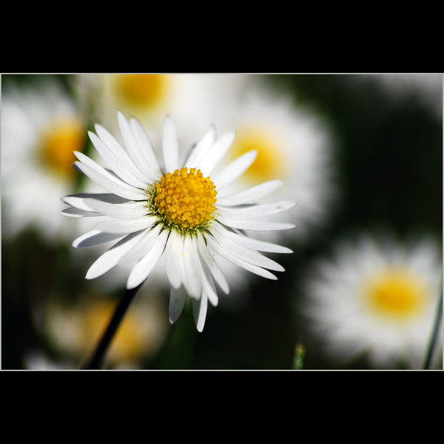 a daisy a day . . .