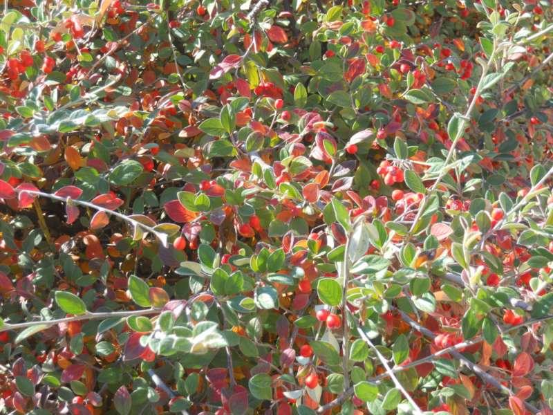 Cotoneaster wardii otoño 1