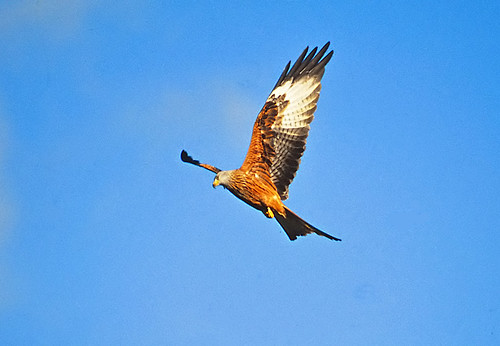 Red Kite (Milvus milvus) | by Peter Maton