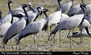 The Demoiselle Crane, Anthropoides virgo - Koonj | by vaidyarupal