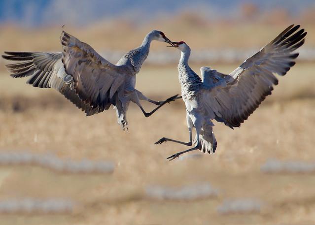 Courtship display of Sandhill Cranes