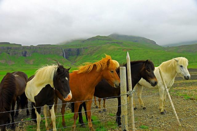 A gathering of Icelandic Horses