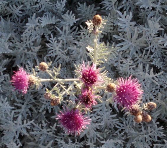 Centaurea gymnocarpa 5292177075_86f51a315e_o
