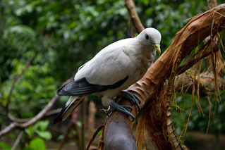 Torresian Imperial-pigeon (Ducula spilorrhoa) | by brian.gratwicke