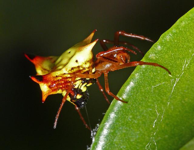 Araña espinosa