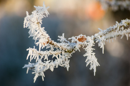 Frosted conifer branch