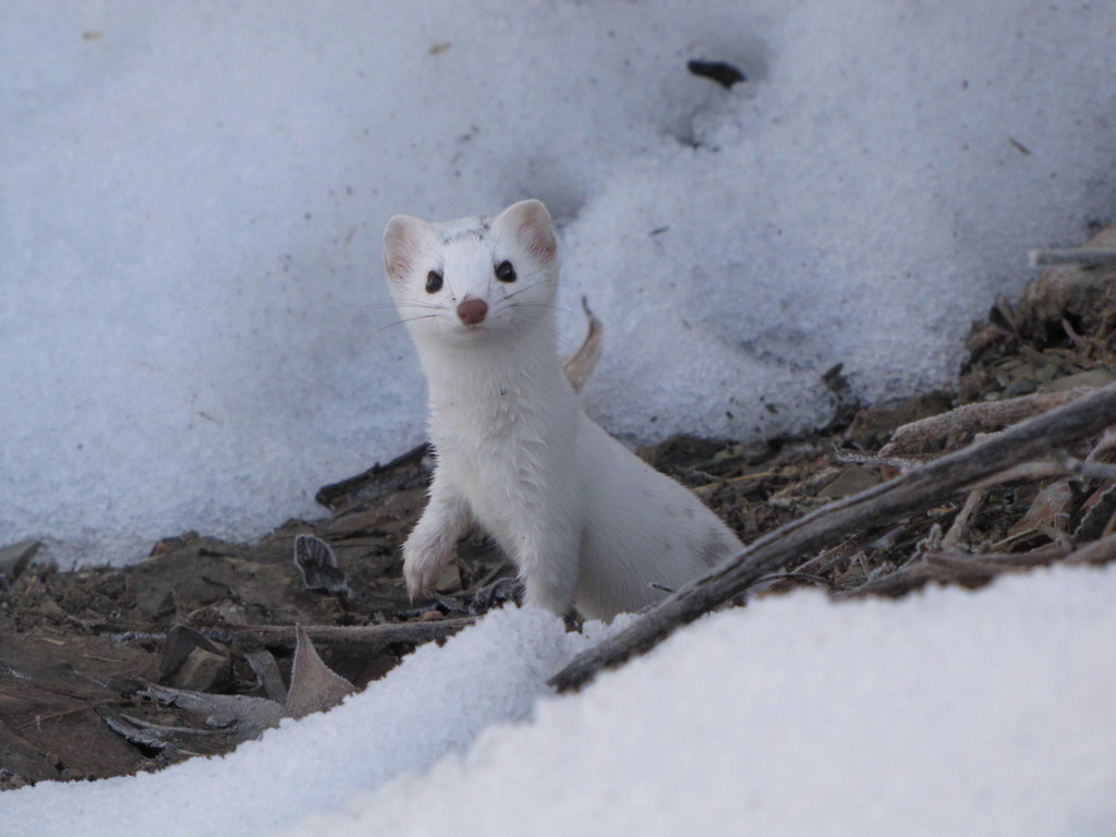 Snow Weasel A Long Tailed Weasel In Its Winter Coat