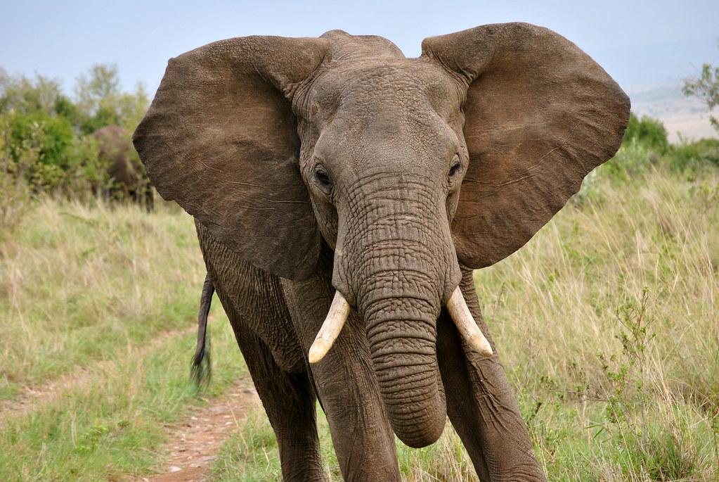 Elephant Ears Elephant Running The Masai Mara Brittany H