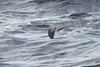 White-faced Storm Petrel by Jim Scarff