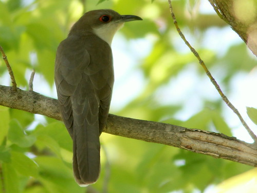 Black-billed Cuckoo 3-20110516
